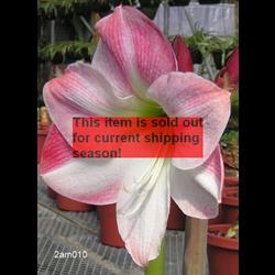 *SOLD OUT* Amaryllis Garden Pink (1 per pkg - Ships March thru June