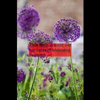 *SOLD OUT* Allium a. Purple Sensation (10 bulbs per pkg - ships Oct thru Jan)