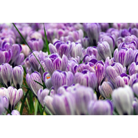Crocus vernus Pickwick (25 bulbs per pkg - Ships Oct thru Jan)
