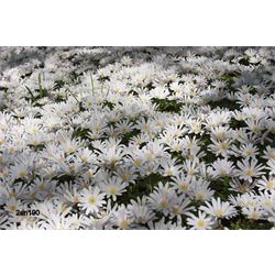 Anemone blanda White Splendour (25 bulbs/pkg - Ships Oct thru June)