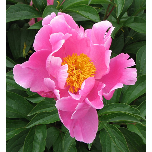 Peony Clump Pink Single