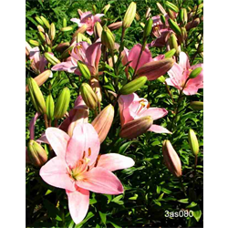 Lily Asiatic Pink (5 bulbs per pkg - Ships Oct thru June)