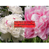Additional images for *SOLD OUT* Peony Clump Box Set (Ships Oct thru Jan)