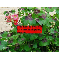 *FALL 2020* Oxalis tetraphylla - Iron Cross (10 bulbs per pkg - Ships Oct thr