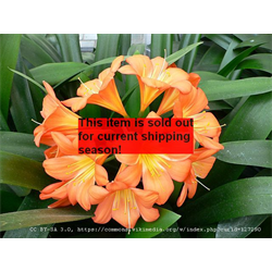 *SOLD OUT* Clivia miniata (3 plants per pkg - Ships March thru June)