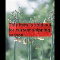 *SOLD OUT* Allium bulgaricum (25 bulbs per pkg - ships Oct thru Jan)