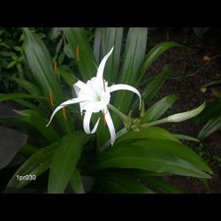 Hymenocallis Tropical Giant (3 bulbs per pkg - Ships March thru June)