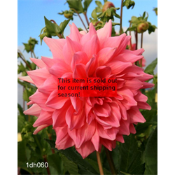 *SOLD OUT* Dahlia Otto's Thrill (3 plants per pkg - Ships March thru June)