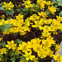 Eranthis cilicica (25 bulbs per pkg - Ships Oct thru Jan)