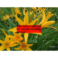 *SOLD OUT* Daylily Aztec Gold (5 plants per pkg - Ships Oct thru June)