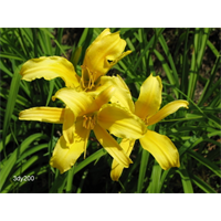 Daylily Hyperion (5 plants per pkg - Ships Oct thru June)