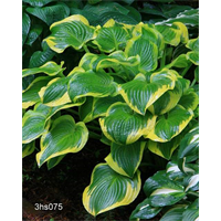 Hosta 'Wide Brim'  (5 plants per pkg - Ships Oct thru June)