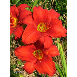 Daylily Chicago Apache (5 plants per pkg - Ships Oct thru June)