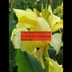 *SOLD OUT* Canna Giant Eureka (5 bulbs per pkg - Ships March thru June)