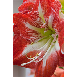 Amaryllis Jumbo Potted Bulb Kit - Minerva (ships Nov thru Jan)