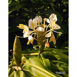 Hedychium flavum (3 bulbs per pkg - Ships March thru June)
