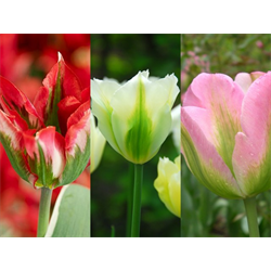 Tulip Viridiflora Collection (60 bulbs per collection - Ships Oct thru Jan)