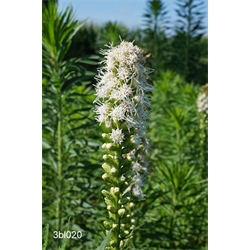Liatris spicata Alba (10 bulbs per pkg - Ships March thru June)