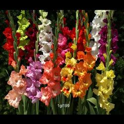 Gladiolus Mixed (25 bulbs per pkg - Ships March thru June)