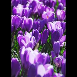 Crocus vernus Flower Record (25 bulbs per pkg - Ships Oct thru Jan)