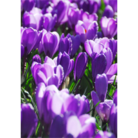 Crocus vernus Flower Record (25 bulbs per pkg - Ships Oct thru Jan)