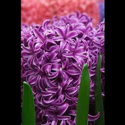 Hyacinth Marie (5 bulbs per pkg - Ships Oct thru Jan)