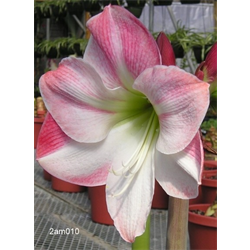 Amaryllis Garden Pink (1 per pkg - Ships March thru June