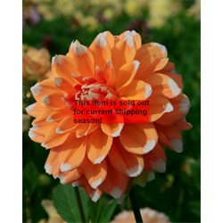 *SOLD OUT* Dahlia Peaches and Cream (3 plants per pkg - Ships March thru June)