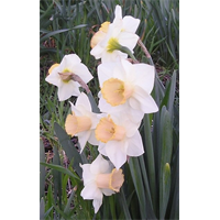 Daffodil Lg. Cup Salome (10 bulbs per pkg - Ships Oct thru Jan)
