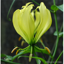 Gloriosa greenei (3 bulbs per pkg - Ships March thru June)