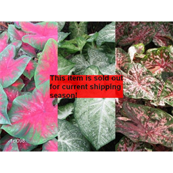 *SOLD OUT* Caladium Collection (30 bulbs per collection - Ships March thru June)
