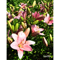 Lilly bulk Asiatic Pink  (½ BU - Ships Oct thru June)