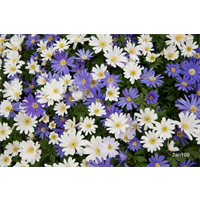 Anemone blanda Mixed (25 bulbs per pkg - Ships Oct thru June)