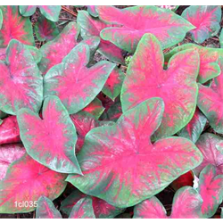 Caladium Postman Joyner (5 bulbs per pkg - Ships March thru June)