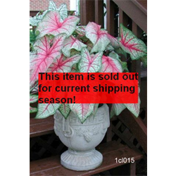 *SOLD OUT* Caladium White Queen (5 bulbs per pkg - Ships March thru June)
