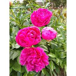 Peony Clump Felix Supreme (Ships Oct thru Jan)