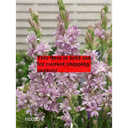 *SOLD OUT* Tuberose Double 'Pink Sapphire' (5 bulbs per pkg - Ships March thru