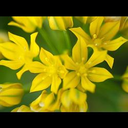 Allium moly (25 bulbs per pkg - ships Oct thru Jan)