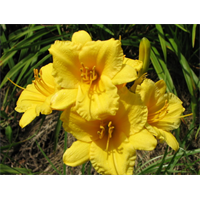 Daylily clump Stella de Oro (Ships Oct thru June)