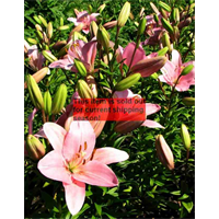 *SOLD OUT* Lilly bulk Asiatic Pink  (½ BU - Ships Oct thru June)