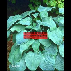 *FALL 2020* Hosta sieboldiana 'Elegans' (5 plants per pkg - Ships Oct thru June)