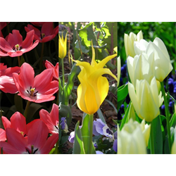 Tulip Lily-flowered Collection (60 bulbs per collection - Ships Oct