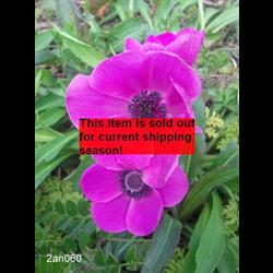 *SOLD OUT* Anemone coronaria Sylphide (25 bulbs/pkg - Ships Oct thru June)