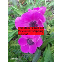 *SOLD OUT* Anemone coronaria Sylphide (25 bulbs per pkg - Ships Oct thru June)