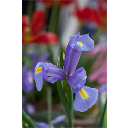 Dutch Iris Telstar (10 bulbs per pkg - Ships Oct thru Jan)