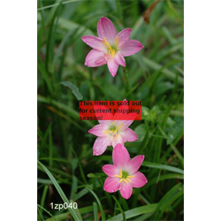 *SOLD OUT* Zephyranthes rosea (25 bulbs per pkg - Ships March thru June)