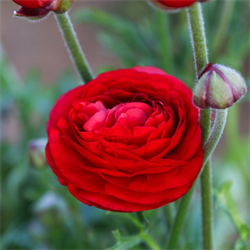 Ranunculus Red (10 bulbs per pkg - Ships Oct thru June)