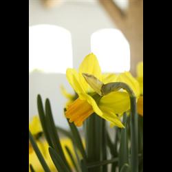 Daffodil Cyclamineus Jetfire (10 bulbs per pkg - Ships Oct thru Jan)