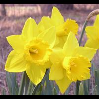 Daffodil Lg. Cup Saint Keverne (10 bulbs per pkg - Ships Oct thru Jan