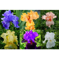 Bearded Iris Mixture (3 plants per pkg - Ships Oct thru Jan)